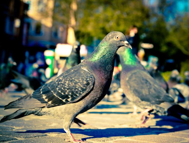 Ptaków gołębie na ulicach miasto fotografia stock
