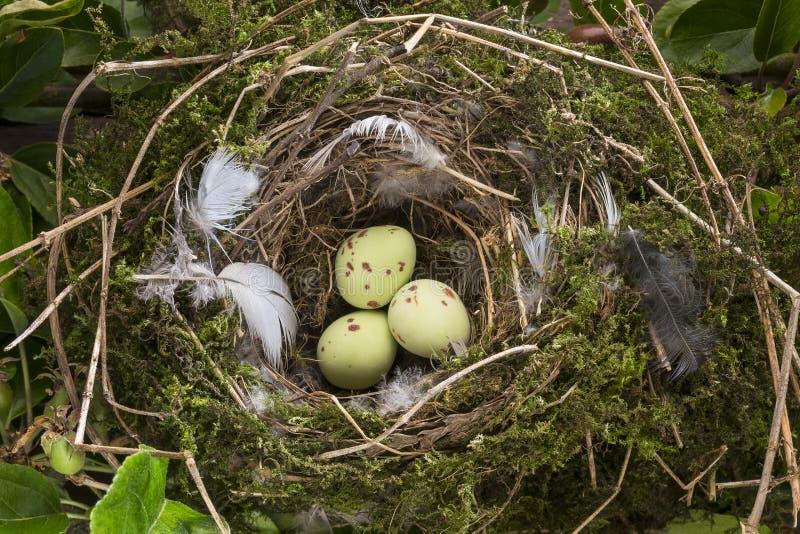 Ptaków jajka w gniazdeczku zdjęcie stock