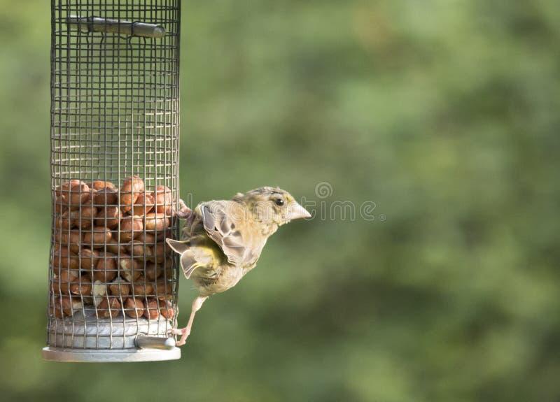 Ptaków karmić zdjęcia stock