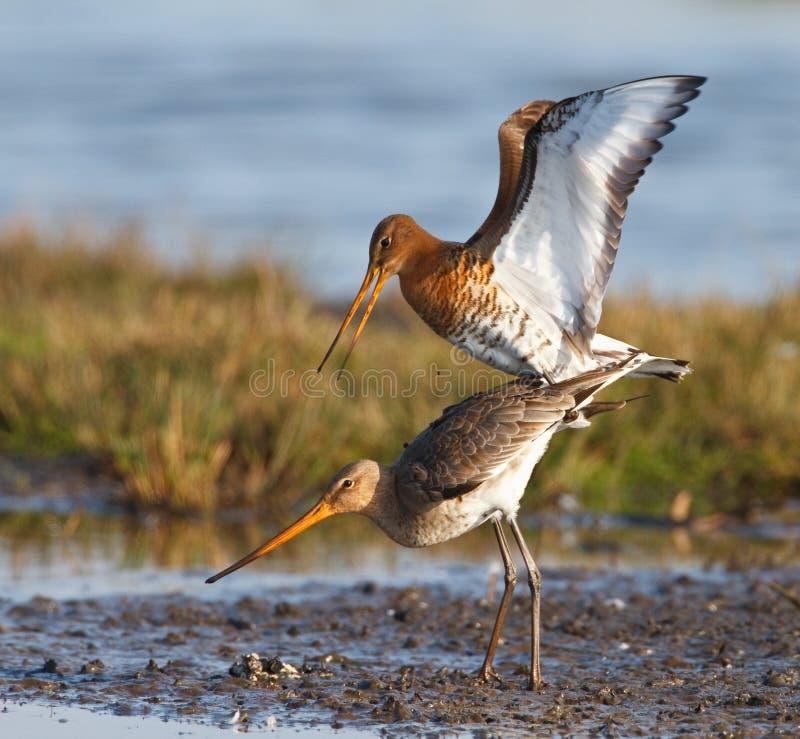 ptaków pary target611_0_ zdjęcie stock