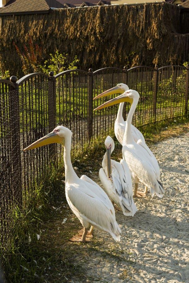Ptaków pelikany w piórze, zoo zdjęcie stock