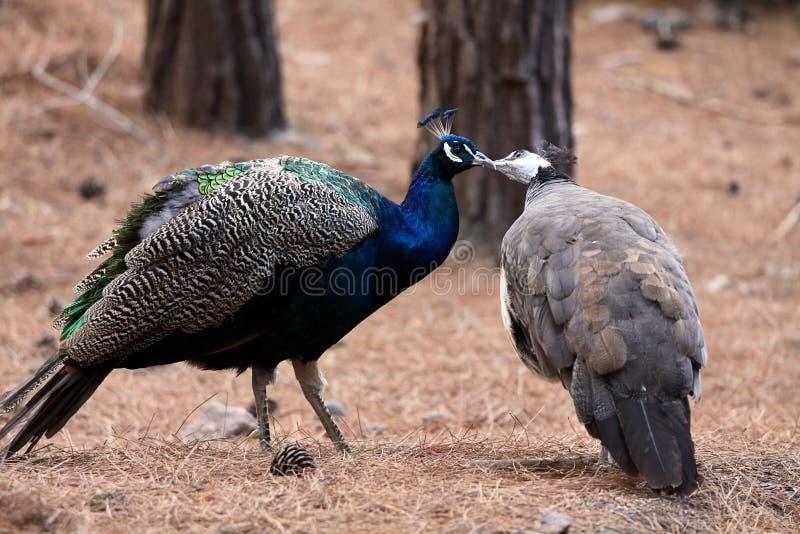 ptaków pojęcia całowania miłości pawie zdjęcie stock