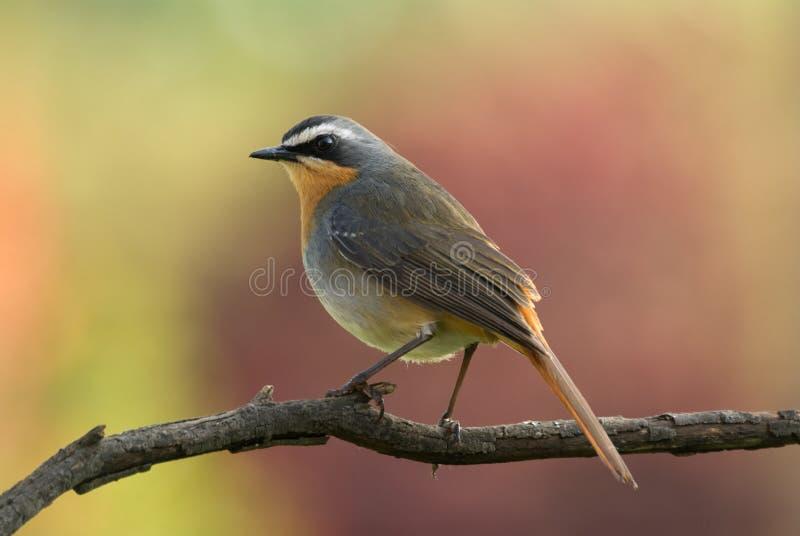 ptaków przylądka gadki rudzik zdjęcia royalty free