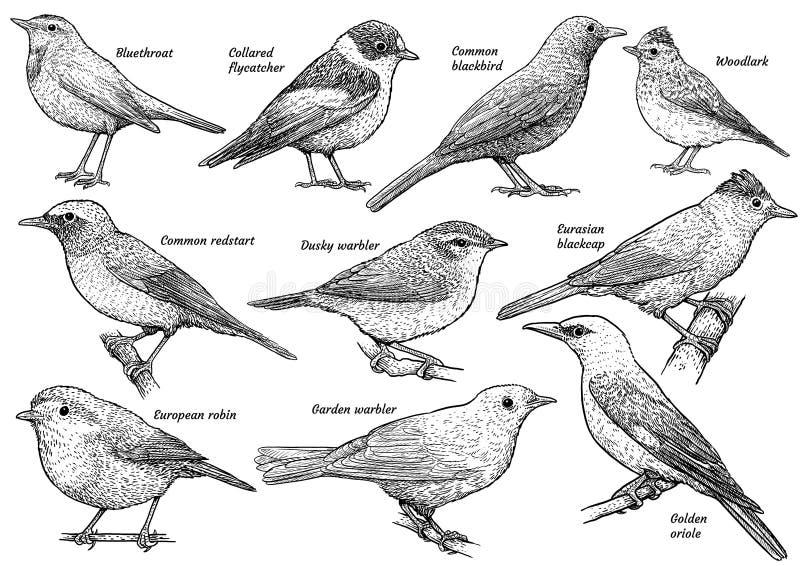 Ptak śpiewający kolekcja, ilustracja, rysunek, rytownictwo, atrament, kreskowa sztuka, wektor ilustracja wektor