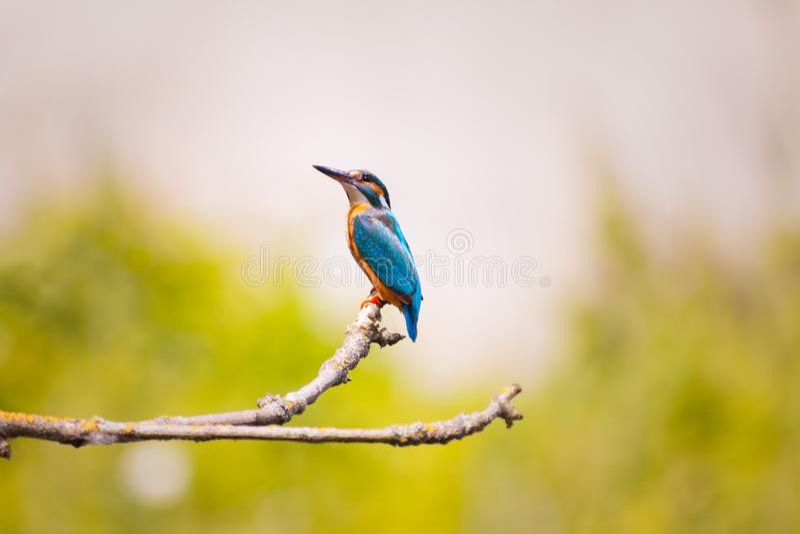 Ptak, belfer, fauna, przyroda