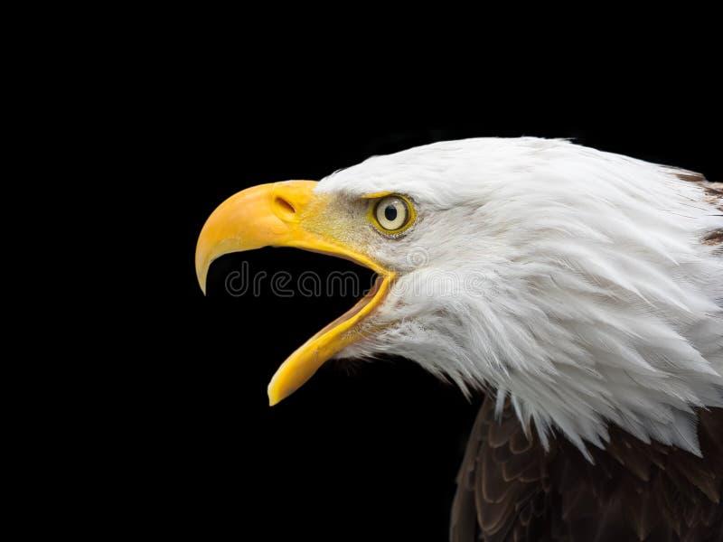 Ptak, belfer, ptak zdobycz, Eagle