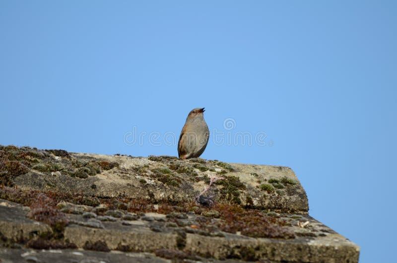 Ptak, Dunnock, śpiewa od dachu, belfer nieznacznie otwarty obrazy royalty free
