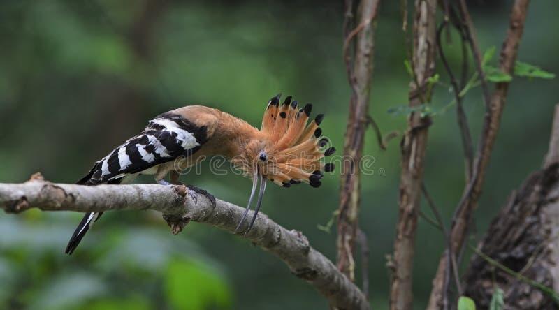 Ptak, Eurazjatyccy Upupa epops, dudka lub błonie dudka obrazy royalty free