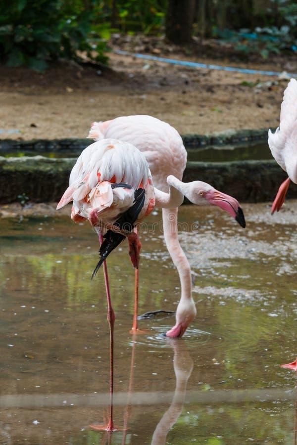 Ptak, flamingi zdjęcie royalty free