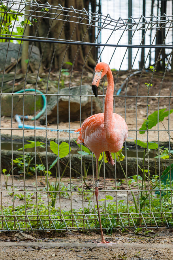 Ptak, flamingi obrazy stock