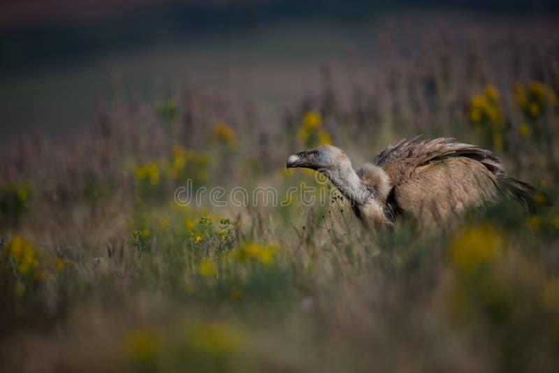 ptak fulvus gyps zdobycz lipetsk Rosji zoo Dzika natura Bułgaria wolna od natury r Rhodopes wielki ptak Góry w Bułgaria e zdjęcie royalty free