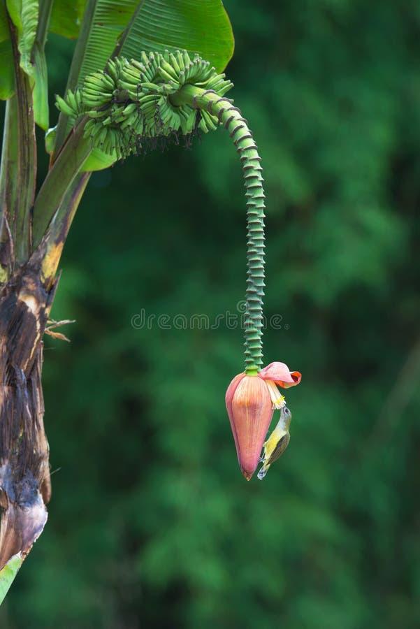 Ptak i Bananowy kwiat obraz stock