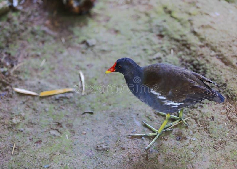 Ptak jest na ziemi w ich naturalnym siedlisku obrazy royalty free
