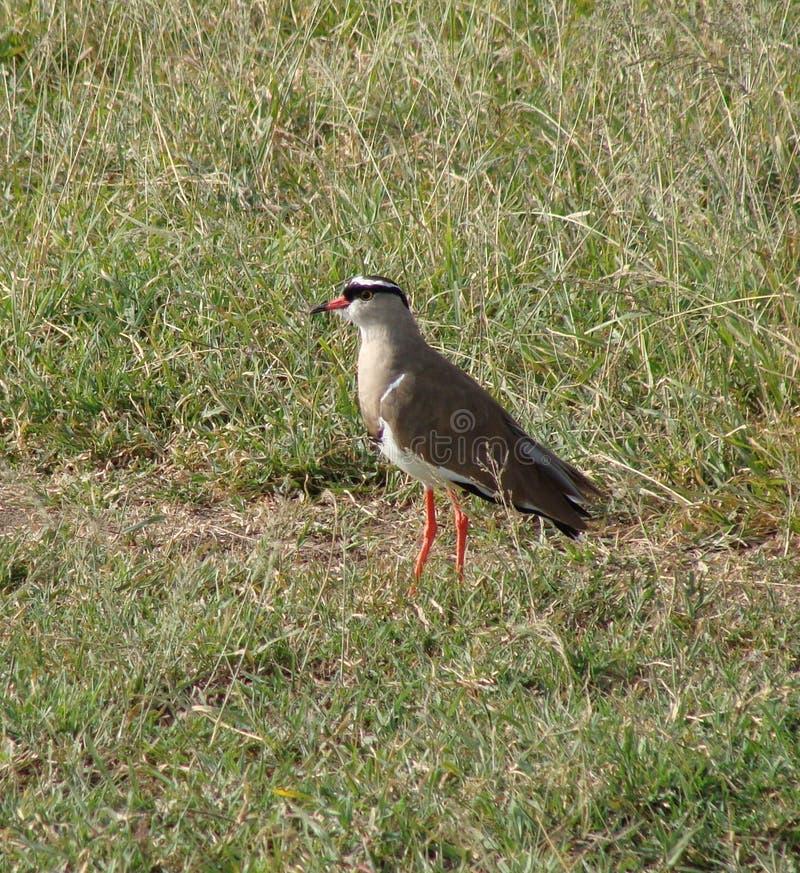 Ptak Koronowana czajka zdjęcie stock