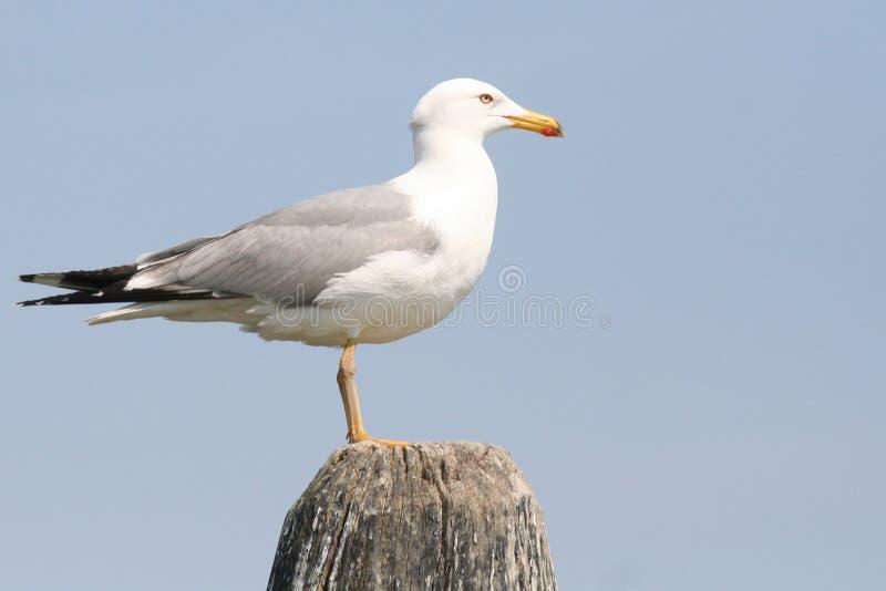 ptak laguny Wenecji zdjęcia royalty free