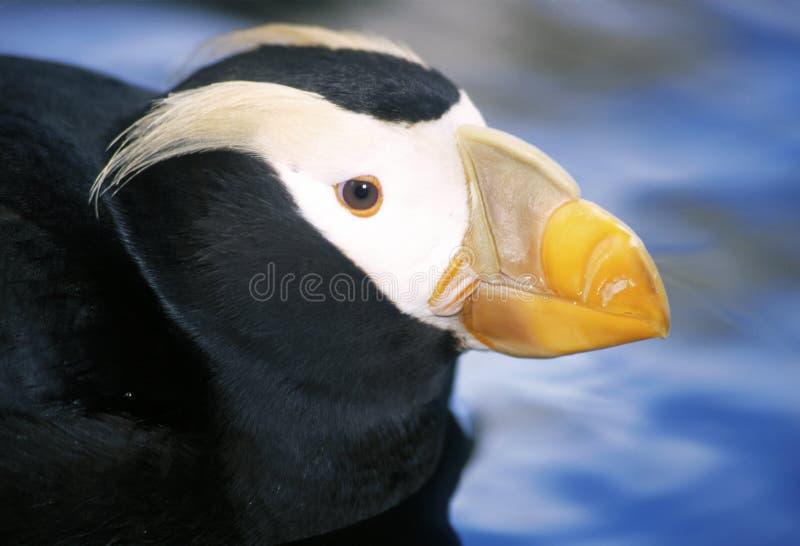 ptak maskonur zdjęcie royalty free