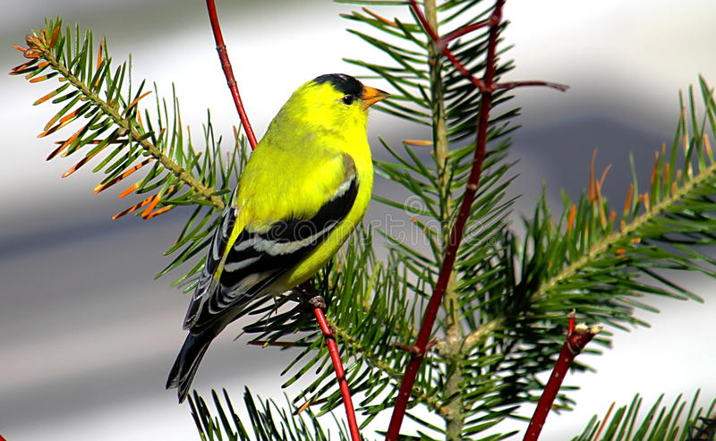 Ptak na gałęziastym szczygle obraz stock