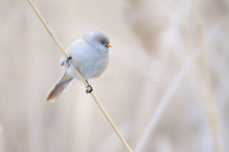 Ptak na trzcinowym trzonie zdjęcie stock