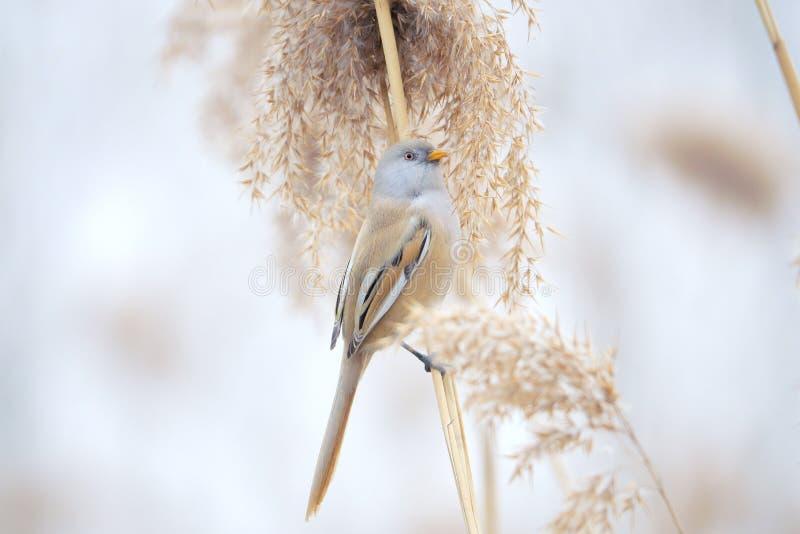 Ptak na trzcinowym trzonie zdjęcia stock