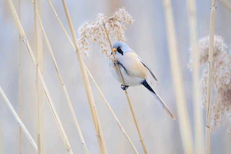Ptak na trzcinowym trzonie zdjęcie royalty free