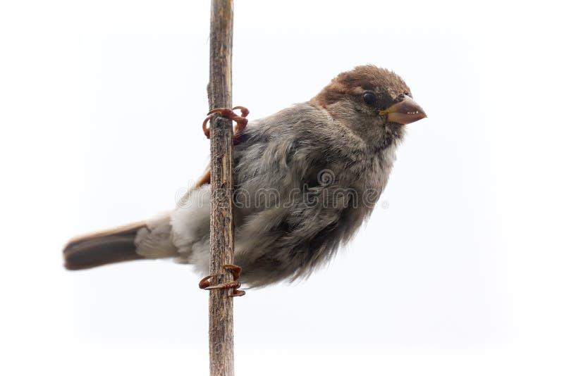Ptak nieparzysty izolowany Sparrow samica songbird Passeridae, Passer domesticus perching na suchej łodydze słonecznika izolowane obraz stock