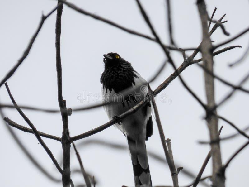Ptak od jardÃn botà ¡ Nico De bogotà ¡ zdjęcie royalty free