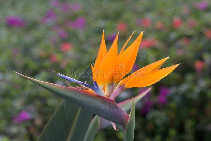 Ptak Paqradise kwiatu dorośnięcie na wyspie Maui w Hawaje obrazy royalty free