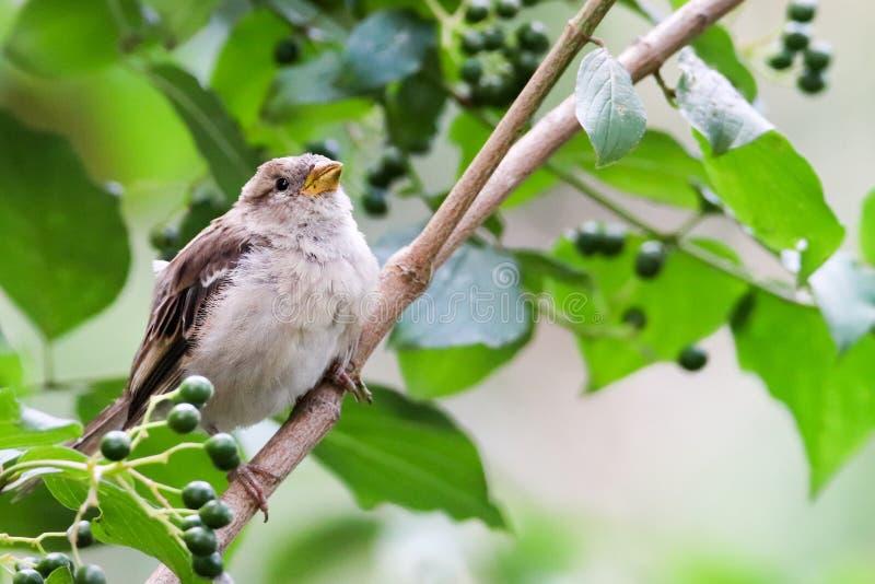 Ptak parowaty siedzący na gałęzi drzewa Sparrow songbird family Passeridae siedzi i śpiewa na gałęzi drzewa obraz royalty free