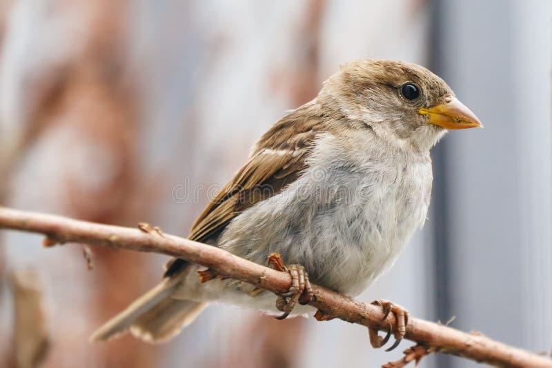 Ptak parowaty siedzący na gałęzi drzewa Sparrow songbird Passer domesticus siedzenie i śpiewanie na suszonym gałęzi drewna zdjęcia stock