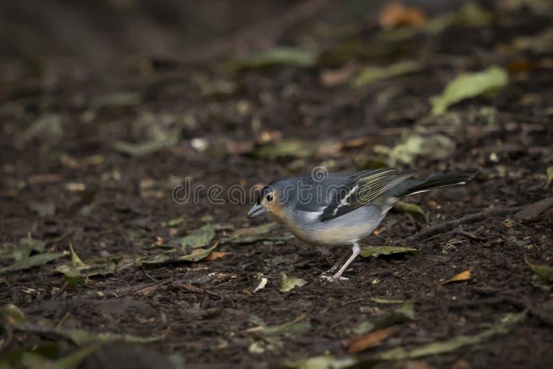 Ptak, Pospolici zięby Fringilla coelebs w lesie przy Garajonay parkiem kanarowy Gomera wysp los angeles fotografia stock