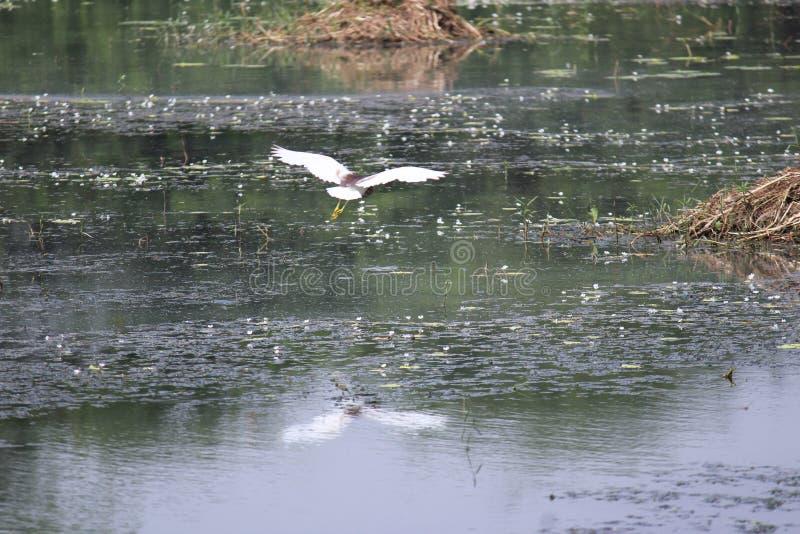 Ptak przy Sultanpur parkiem narodowym obraz royalty free
