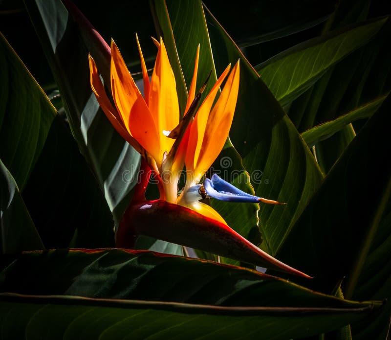 Ptak rajskiego kwiatu w ciemnym tle obrazy royalty free