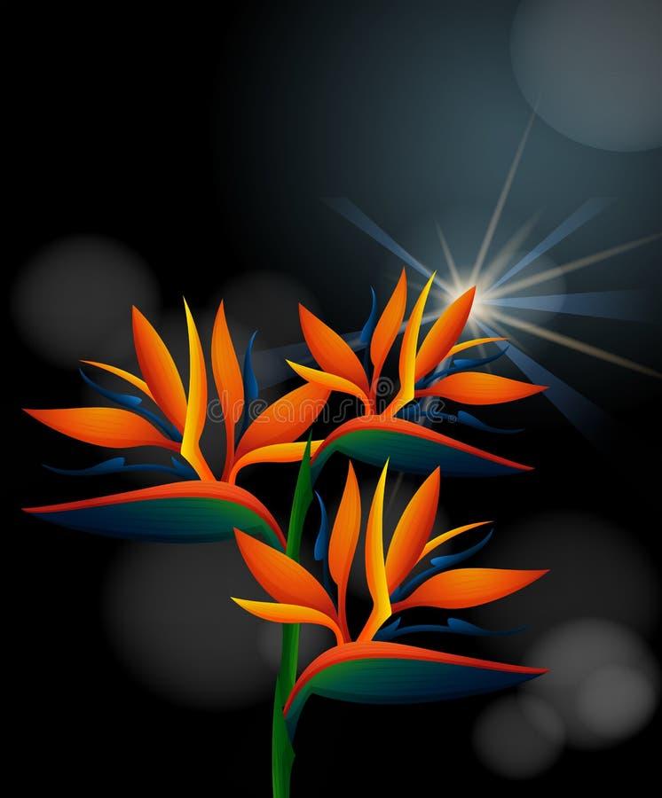 Ptak raju kwiat na czarnym tle ilustracji