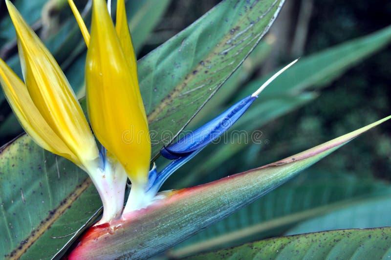 Ptak raju kwiat od Południowa Afryka obrazy royalty free