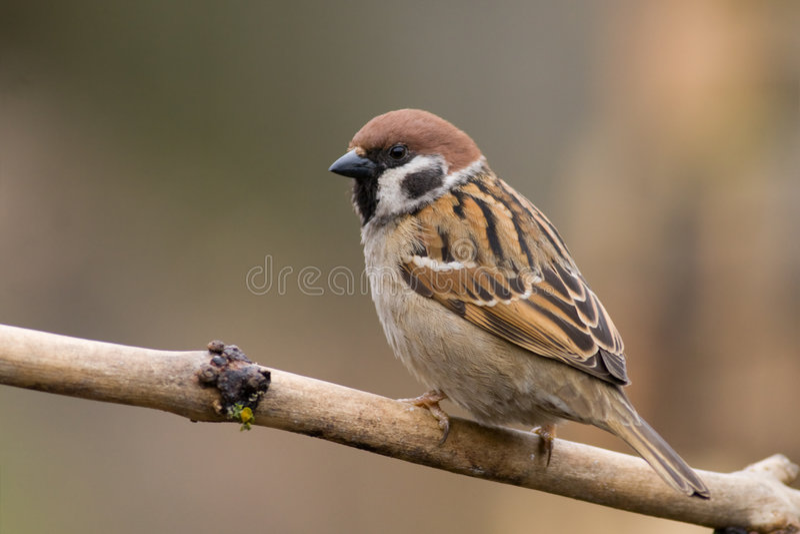 ptak sparrow3 drzewo obrazy stock