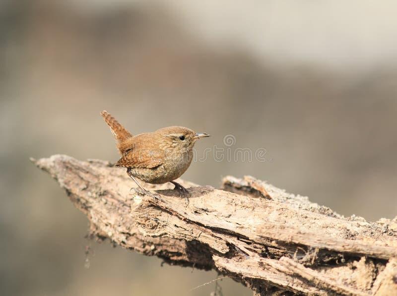 Ptak strzyżyk siedzi na korzeniu drzewo w fotografia royalty free