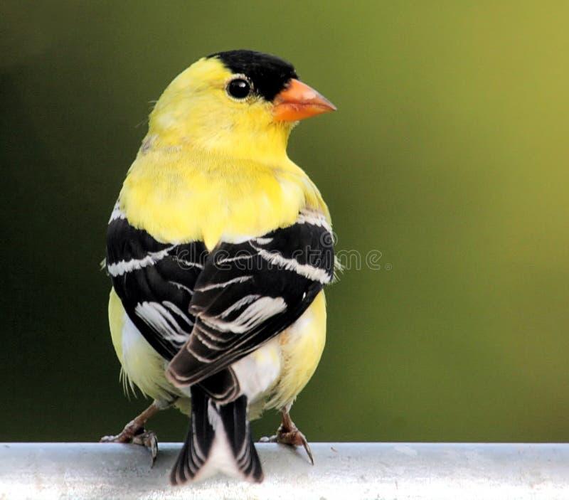 ptak szczygieł amerykański obraz stock