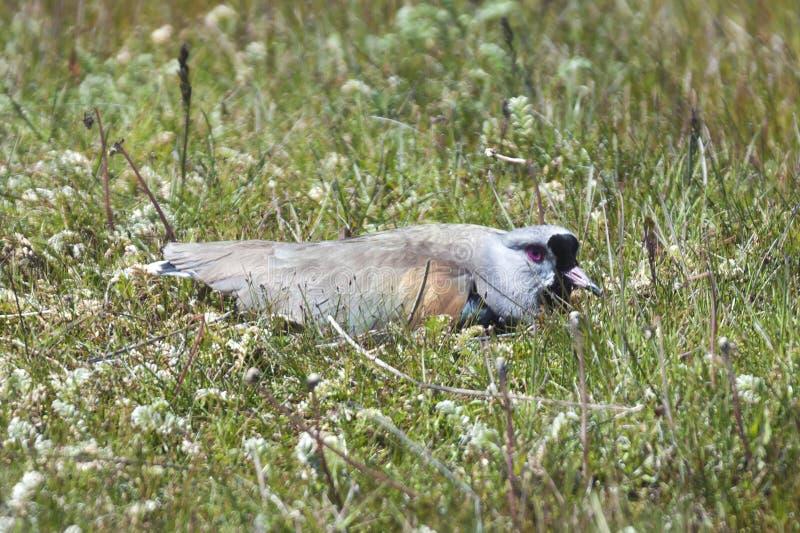 Ptak w Chilijskim Patagonia fotografia stock