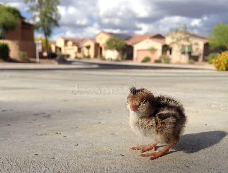 Ptak w kapiszonie! Tutaj ` s lookin ` atcha obrazy royalty free