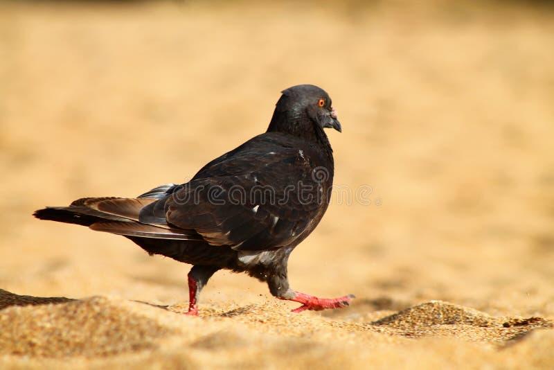 Ptak w piasek plaży Puerto Rico obrazy stock