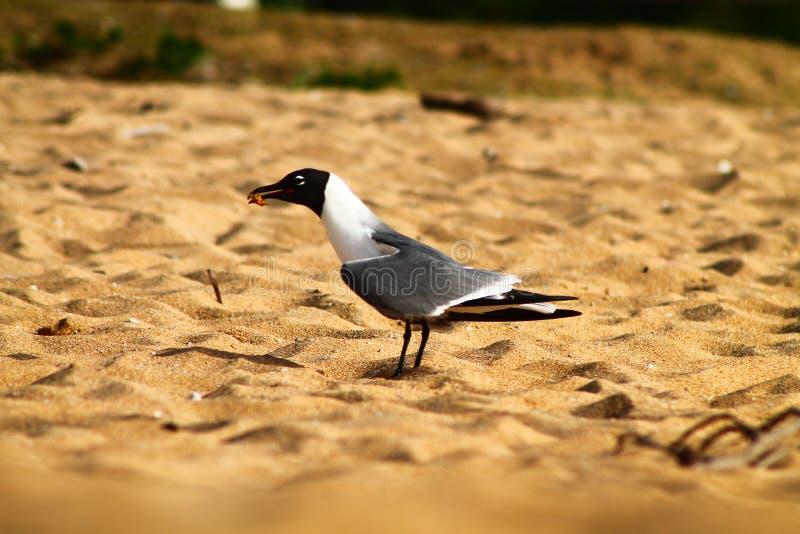 Ptak w piasku przy plażą w Puerto Rico obraz stock