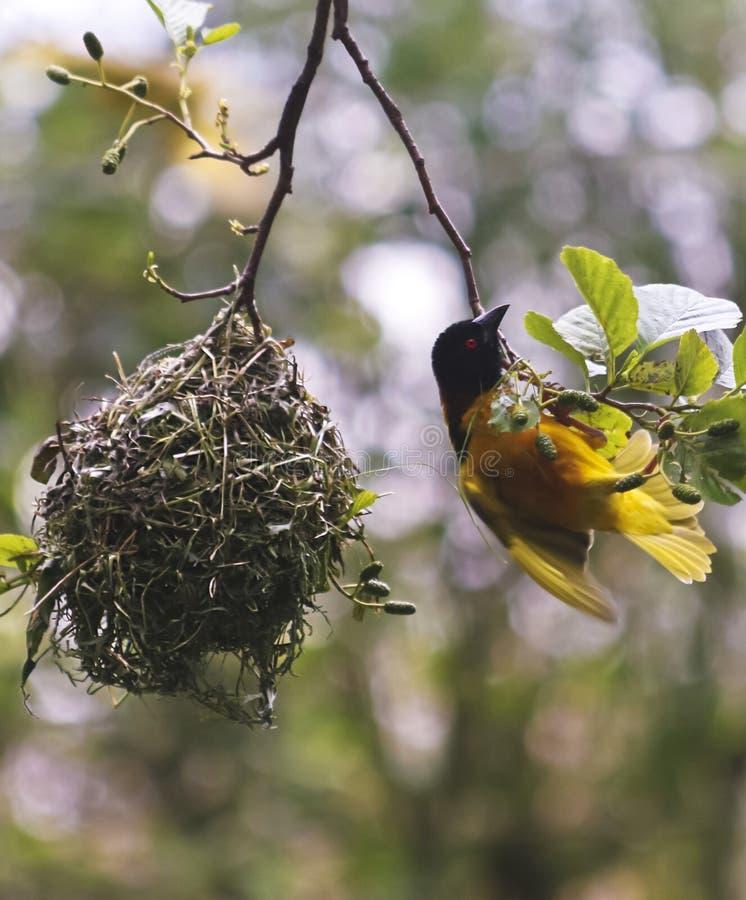 Ptak z wioski Weaver, Ploceus cucullatus, Afryka Subsaharyjska obrazy stock