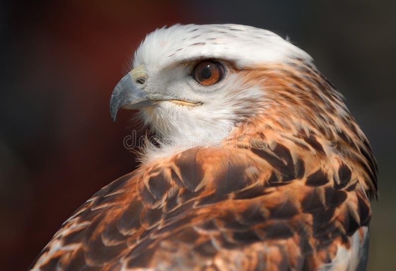 Ptak zdobycz obraz royalty free