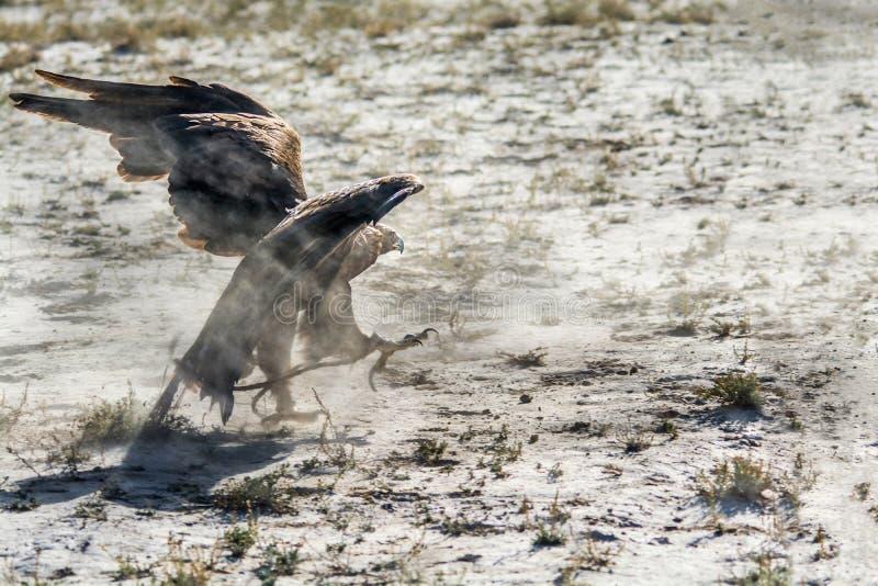Ptak zdobycz, Złoty Eagle podąża zdobycz na ziemi obrazy stock