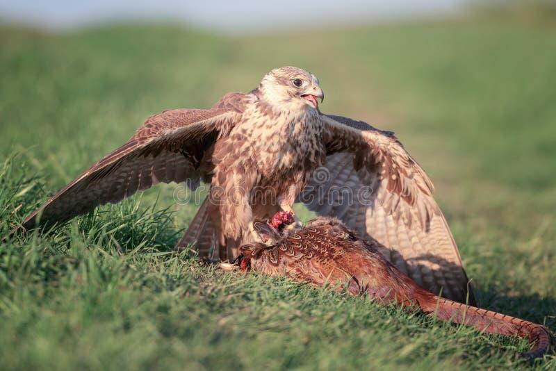 Ptak zdobycza saker jastrząbka falco cherrug z zdobyczem, dzika natury fotografia zdjęcie stock