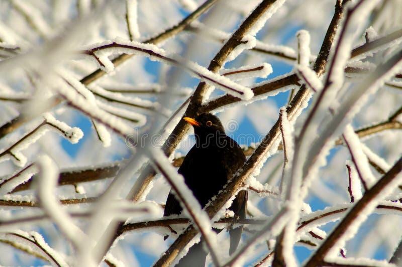 ptak zimnotrwały zdjęcie stock
