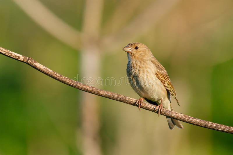 Ptaka śpiewającego błonie Rosefinch (Carpodacus erythrinus) femaleness zdjęcia stock
