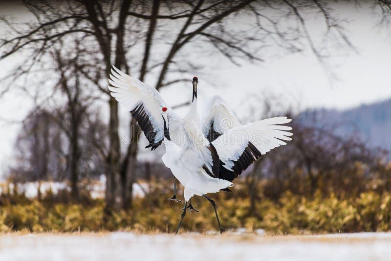 ptaka żurawia koronowana czerwień zdjęcie royalty free