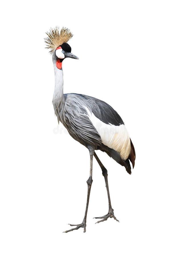 ptaka żurawia korony szarość zdjęcie stock