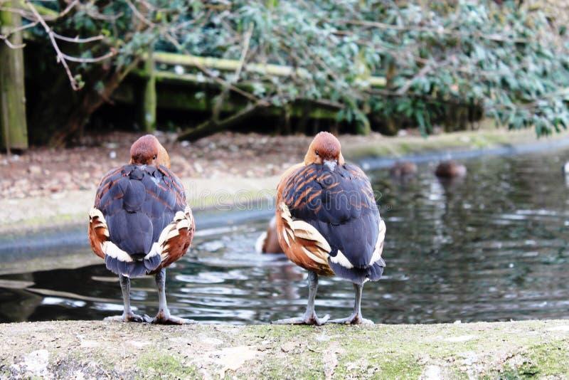 Ptaka belfer obrazy royalty free